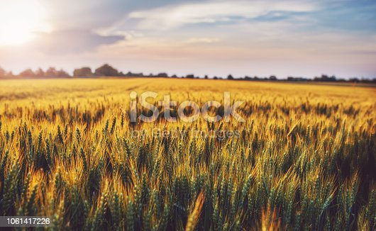 Panorama of wheat field at sunset with blue sky