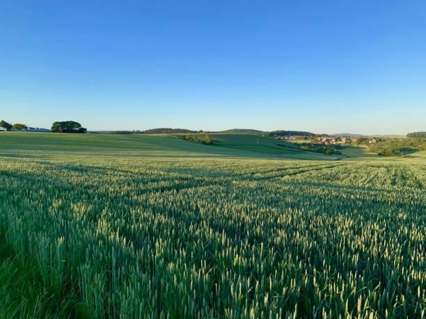 Weizenfeld bei Sonnenuntergang – Foto