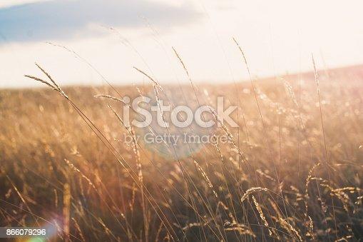 istock Wheat field at sunset 866079296