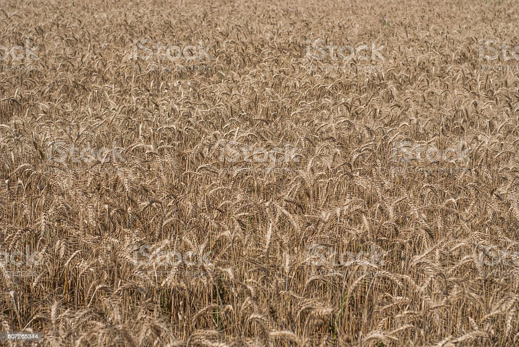 Wheat field background stock photo