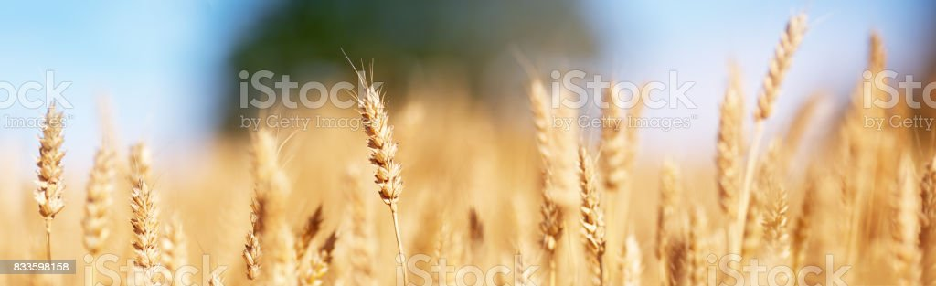 wheat field background stock photo