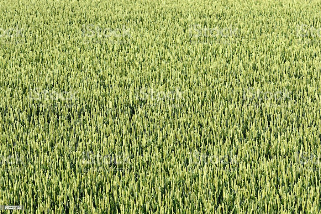 Wheat field background royalty-free stock photo