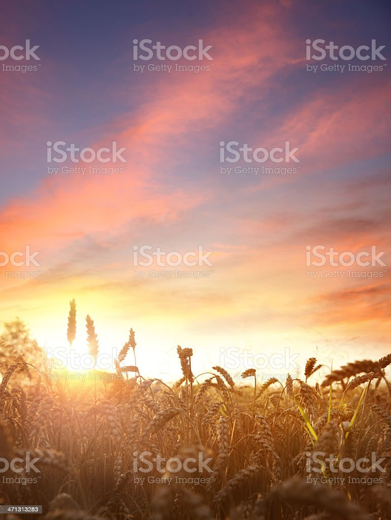 Wheat field by sunset royalty-free stock photo