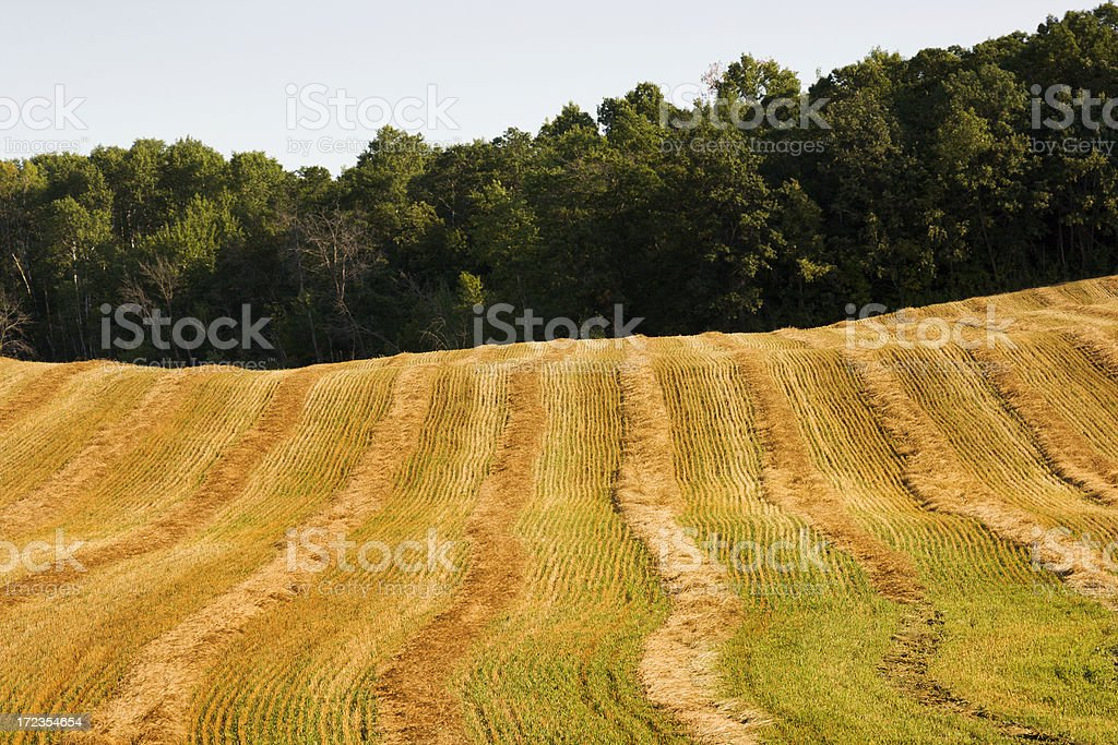 Wheat Field by the Woods royalty-free stock photo