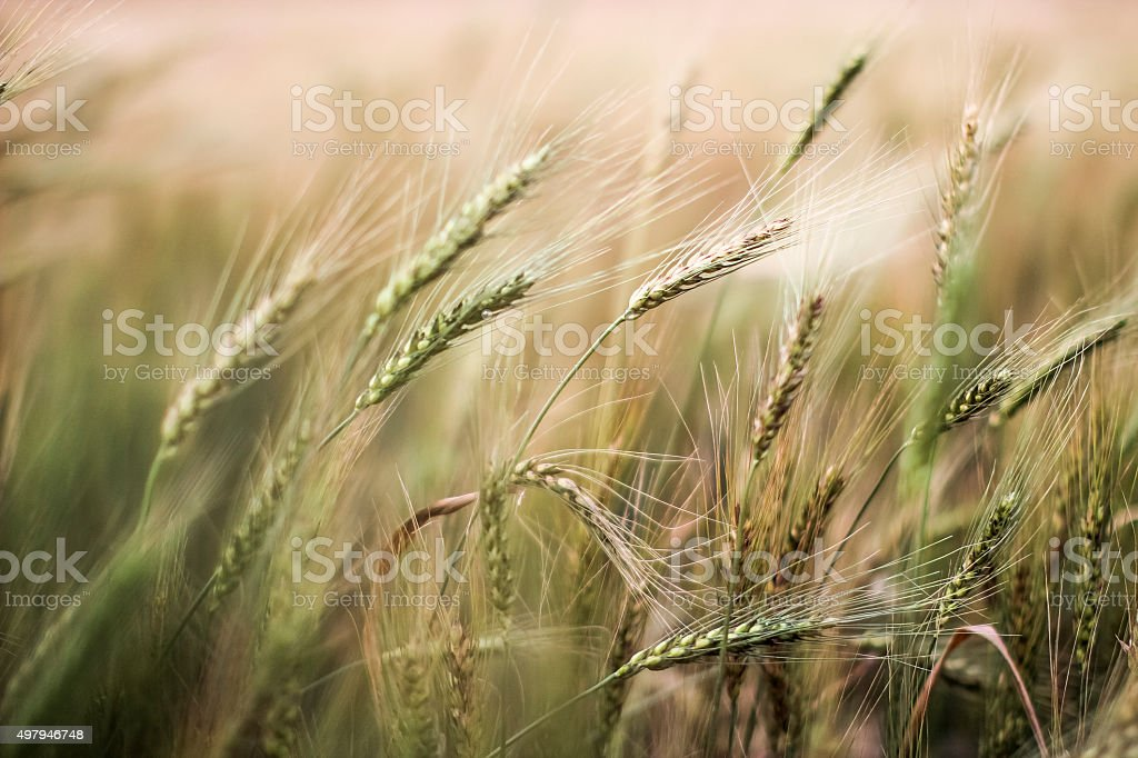 Wheat field close-up. stock photo