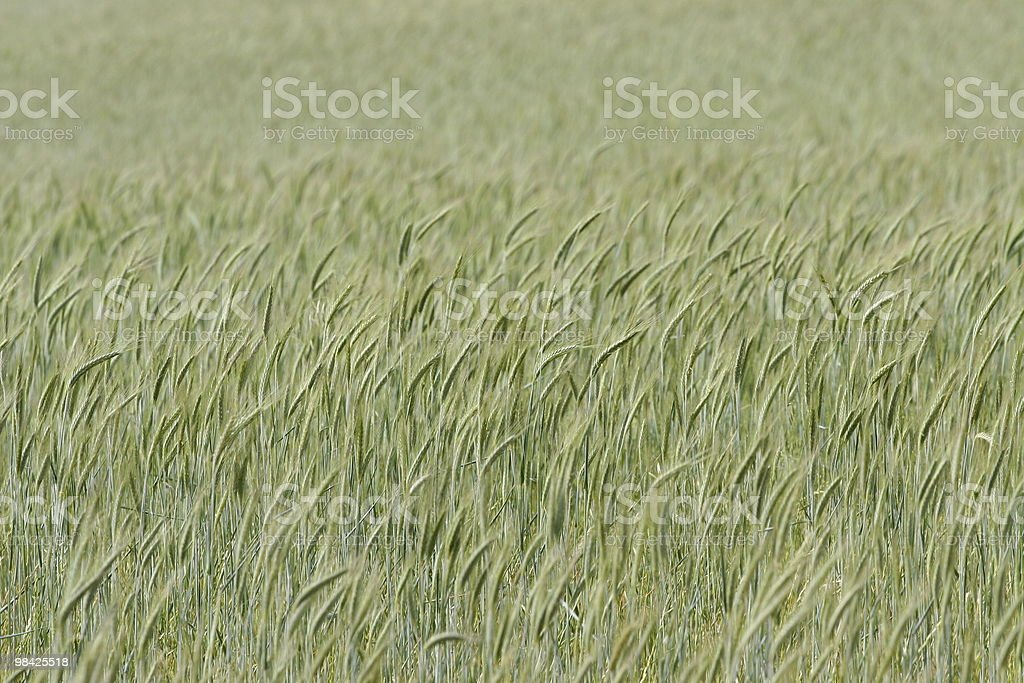 Wheat field crop royalty-free stock photo