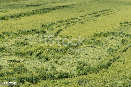 Downed Wheat field
