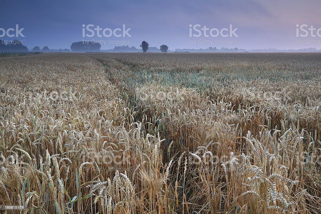 wheat field during warm summer misty sunrise royalty-free stock photo