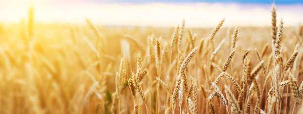 Wheat Field Ears Golden Wheat Close. Wallpaper. Wheat field. Ears of golden wheat close up. Beautiful Nature Sunset Landscape. Background of ripening ears of meadow wheat field. Banner with copy space, rich harvest concept. Wallpaper. wheat stock pictures, royalty-free photos & images