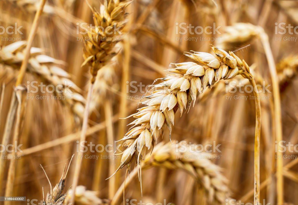 Wheat field. Ears of golden wheat close up. Background with ripe ears...