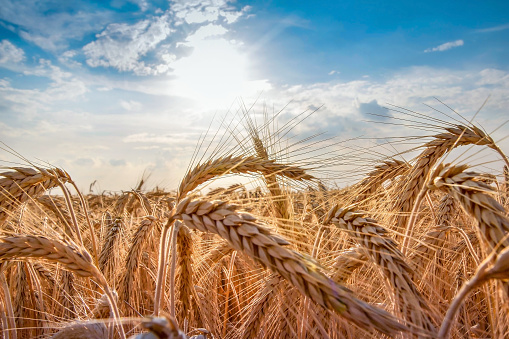 istock Wheat field. Ears of golden wheat close up. Beautiful Nature Sunset Landscape. Rural Scenery under Shining Sunlight. Background of ripening ears of wheat field. Rich harvest Concept. Label art design 1050130316