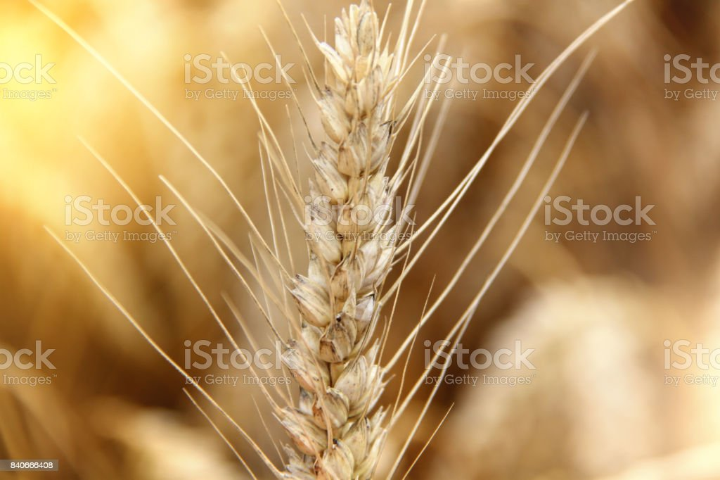 Wheat field. Ears of golden wheat close up. stock photo