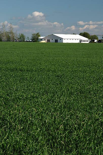 Wheat Field & Farm stock photo