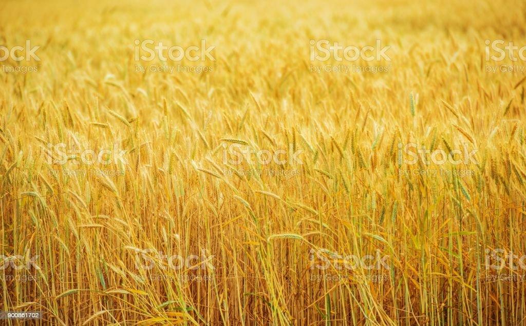 Wheat Field Farmland stock photo