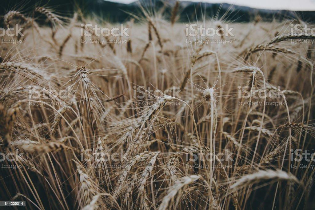 Wheat field. Great background. stock photo
