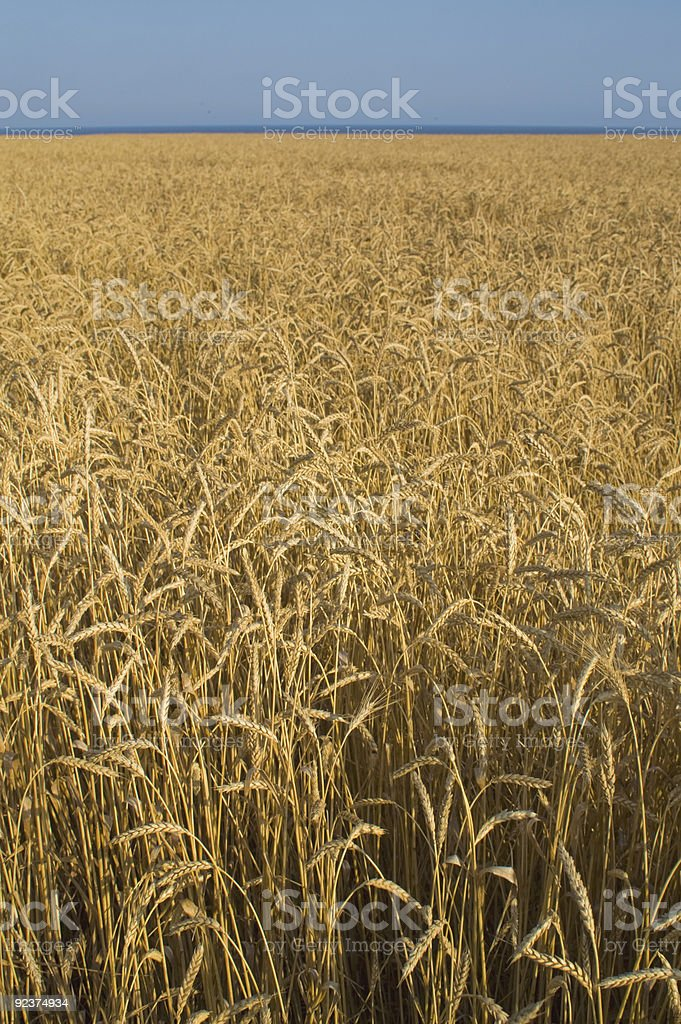 Wheat field in Crimea royalty-free stock photo