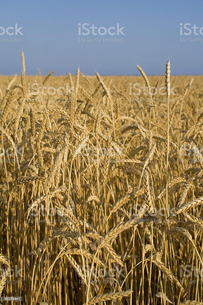 Weizen Feld in Halbinsel Krim Lizenzfreies stock-foto