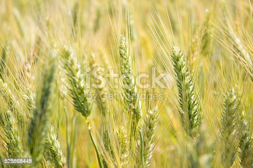 istock Wheat field in day time 523868448