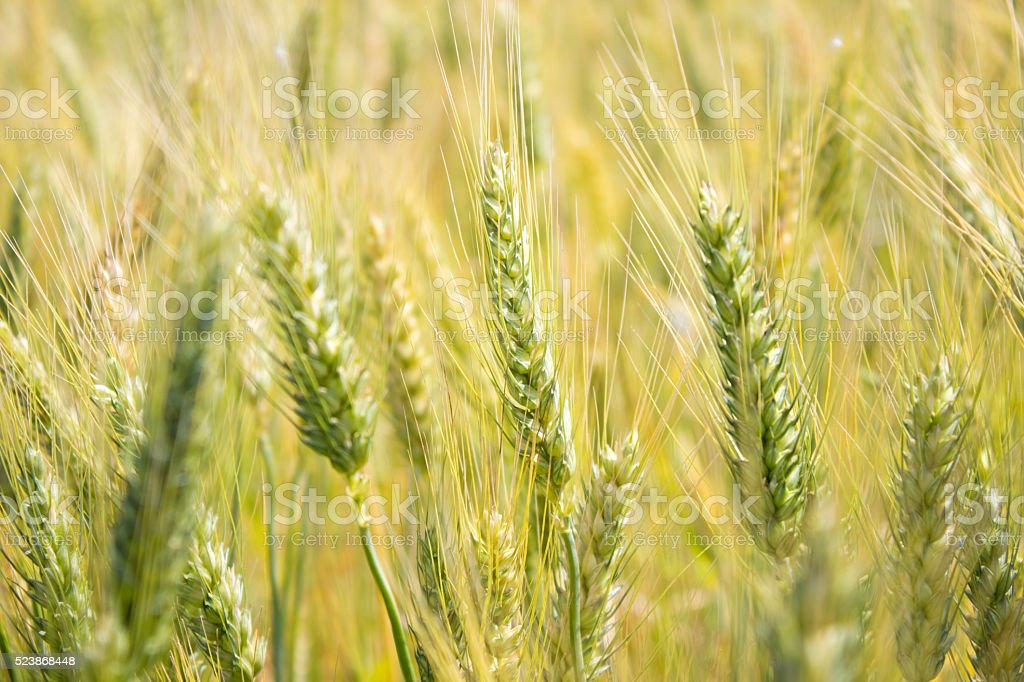 Wheat field in day time stock photo