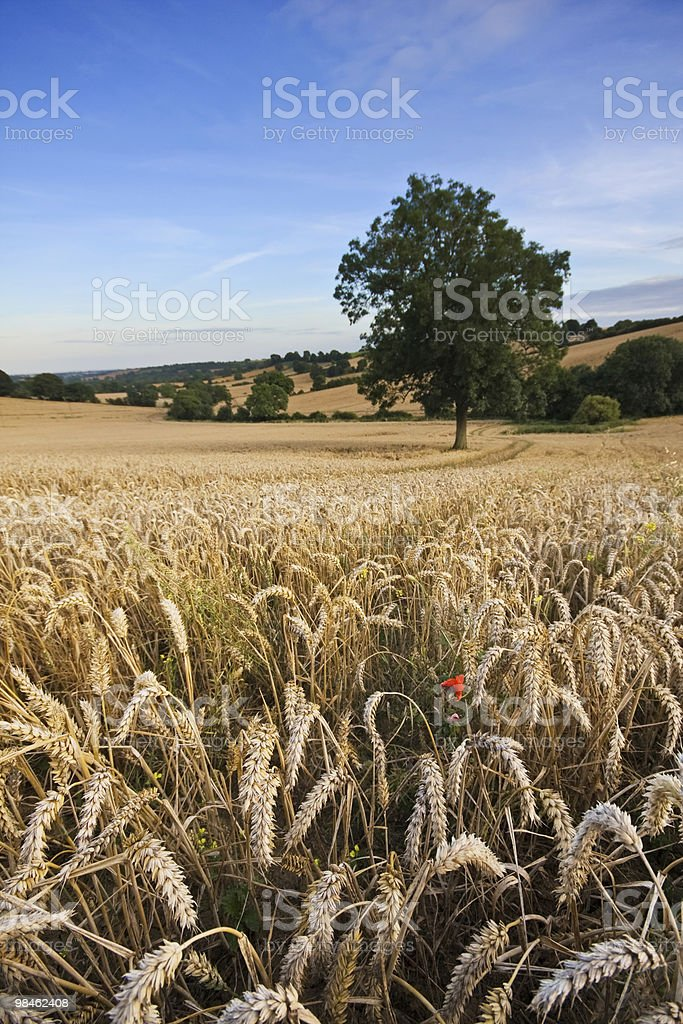 Wheat field in late summer royalty-free stock photo