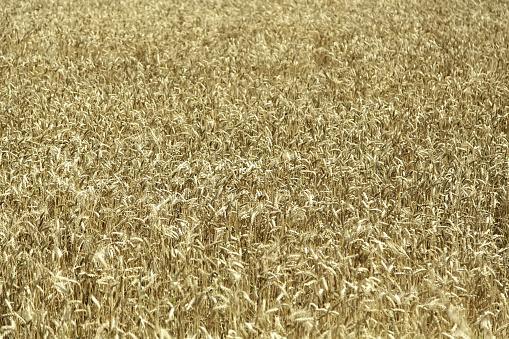 Wheat field in nature
