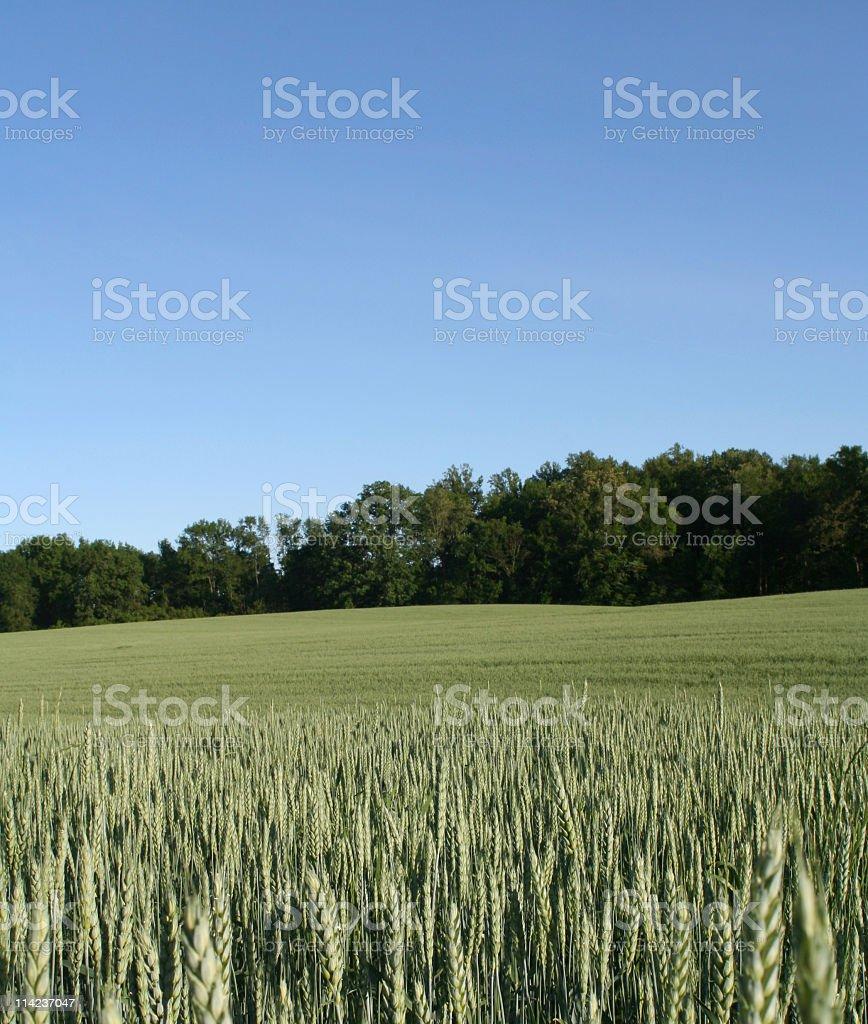 Wheat Field In Richmond, Virginia royalty-free stock photo