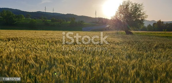 istock Wheat field in spring 1156107235