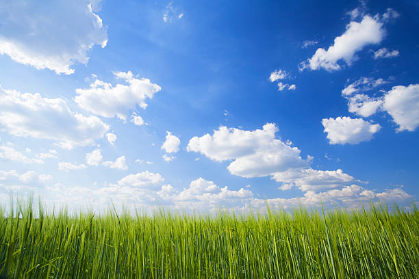 wheat field in spring stock photo