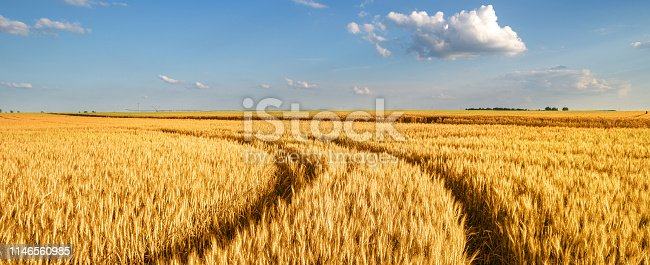 Wheat field and blue sky on a sunny summer day.