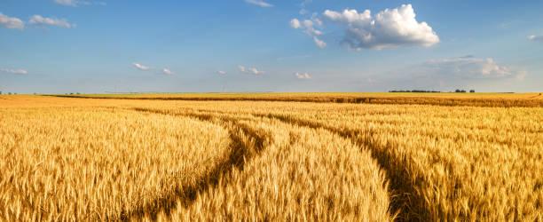 tarweveld in de zomer - wheat field stockfoto's en -beelden