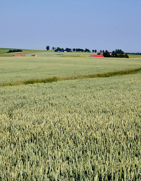Weizen Feld im Sommer – Foto