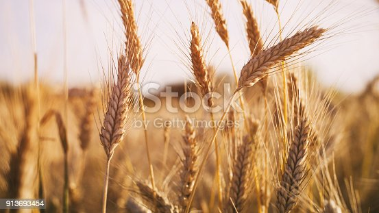 istock wheat field in summer sunset light 913693454