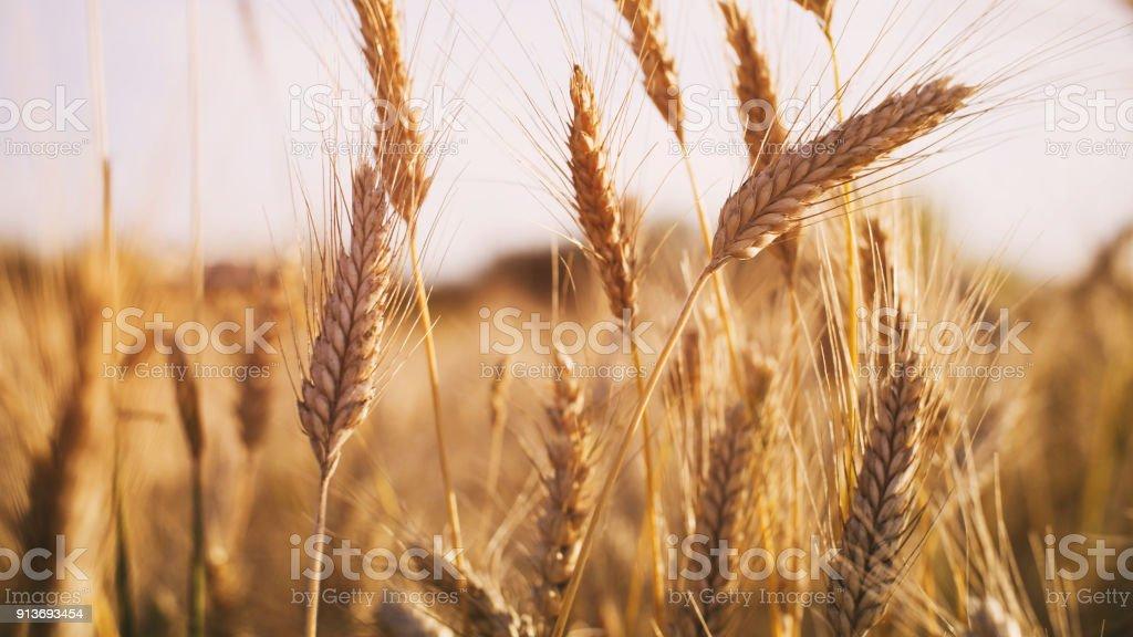 wheat field in summer sunset light stock photo