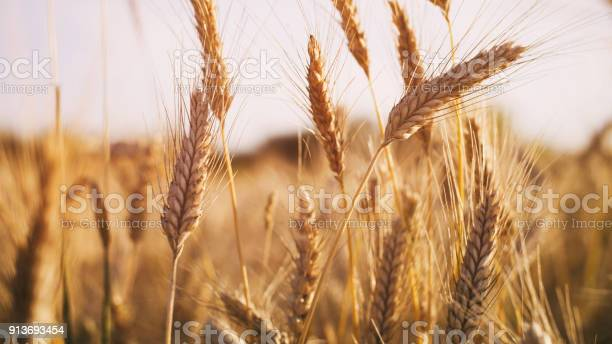 Wheat Field In Summer Sunset Light - Fotografias de stock e mais imagens de Agricultura