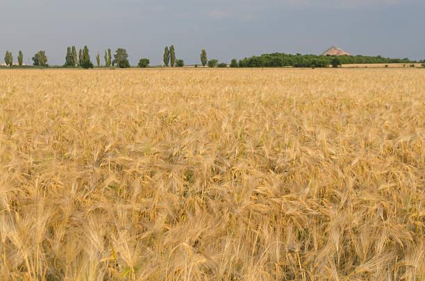 wheat field in sunny day - farbfeldmalerei stock-fotos und bilder