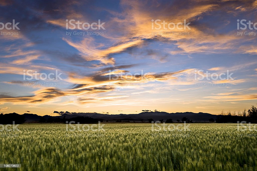Wheat field in the evening royalty-free stock photo