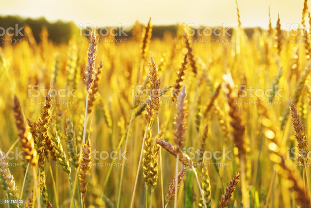 Wheat field in the sunset light. royalty-free stock photo