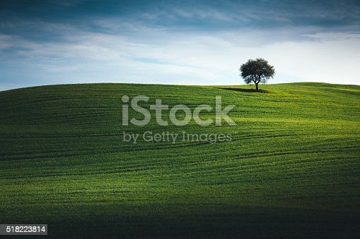 Lone tree in the middle of green field (Val D'orcia, Tuscany, Italy).
