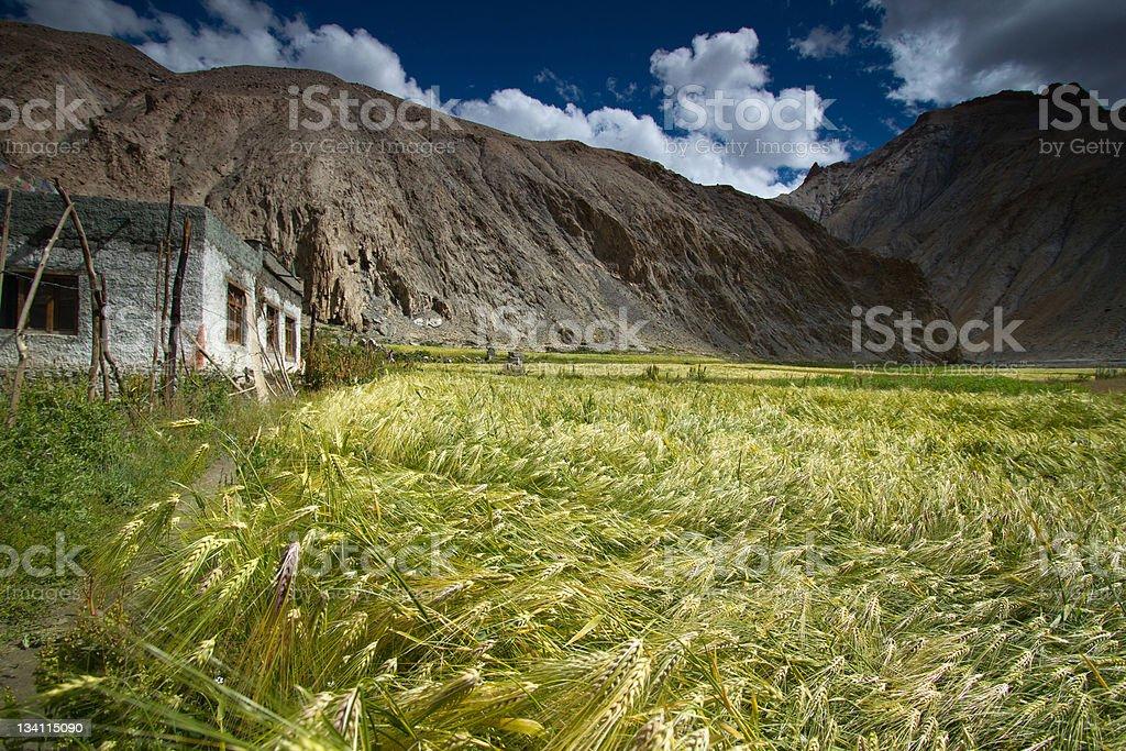 Wheat field located in Marhka Valley near city of Leh royalty-free stock photo