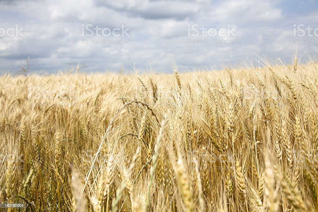 Wheat field low angle view cloudy sky royalty-free stock photo