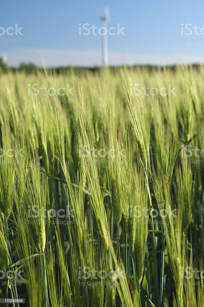 Wheat field macro detail with blurred windmill in the background stock photo
