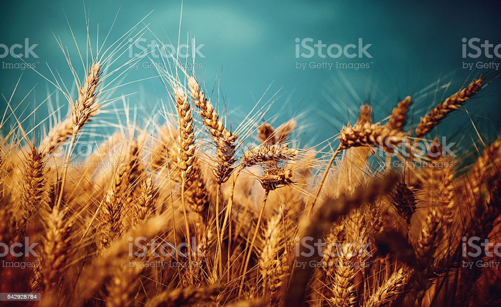 Wheat field on a stromy day. stock photo