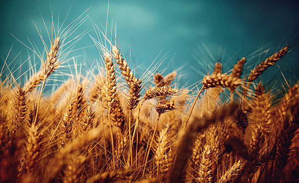 Wheat field on a stromy day. Closeup low angle view of wheat plants on a stormy summer day. It's late June and the wheat is almost fully ripe, harvest is in one week. oat crop stock pictures, royalty-free photos & images