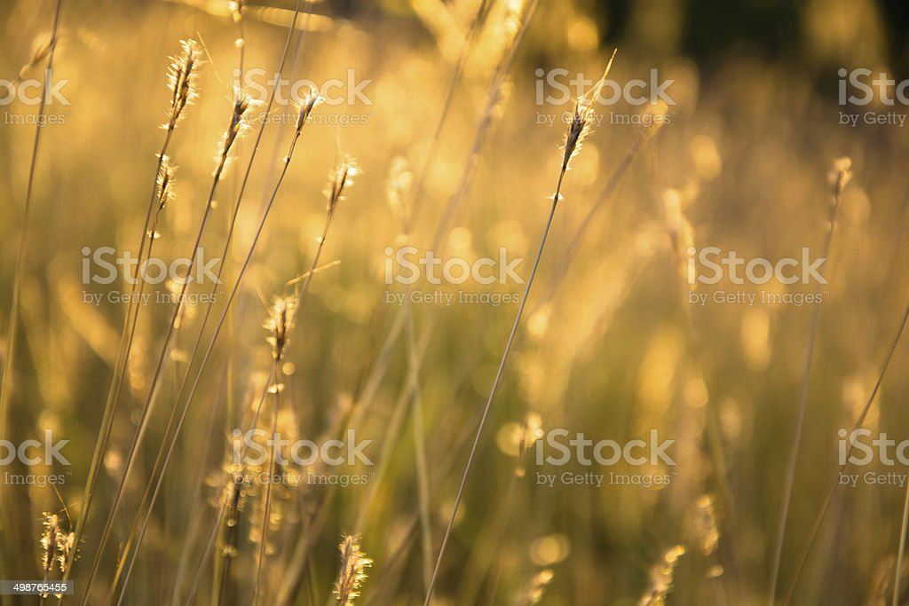 Wheat field on a Sunny day. royalty-free stock photo