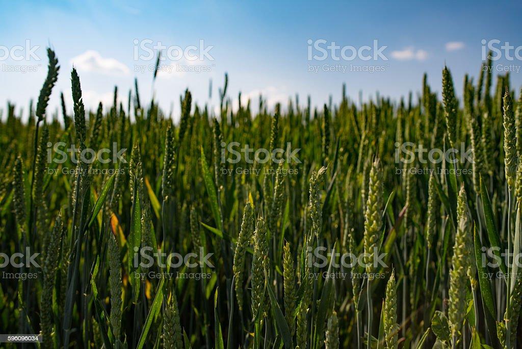 Wheat Field on Summer royalty-free stock photo