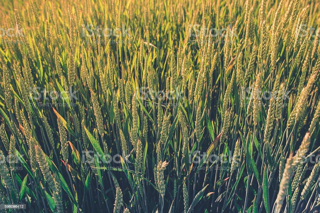 Wheat Field on Summer Lizenzfreies stock-foto