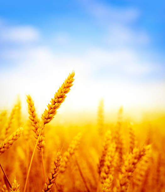 wheat field on sunny day wheat field against blue sky on sunny day oat crop stock pictures, royalty-free photos & images
