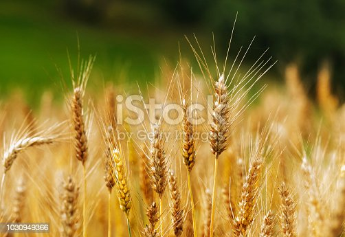 A bright wheat field ,several durum wheat spikelets in the foreground with long stems, beautiful the color contrast between the golden yellow wheat and the green background