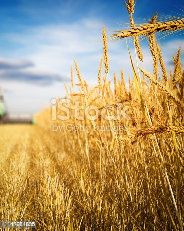 Digitally generated close-up shot of wheat field (Triticum) during harvest.  The scene was rendered with photorealistic shaders and lighting in Autodesk® 3ds Max 2016 with V-Ray 3.6 with some post-production added.