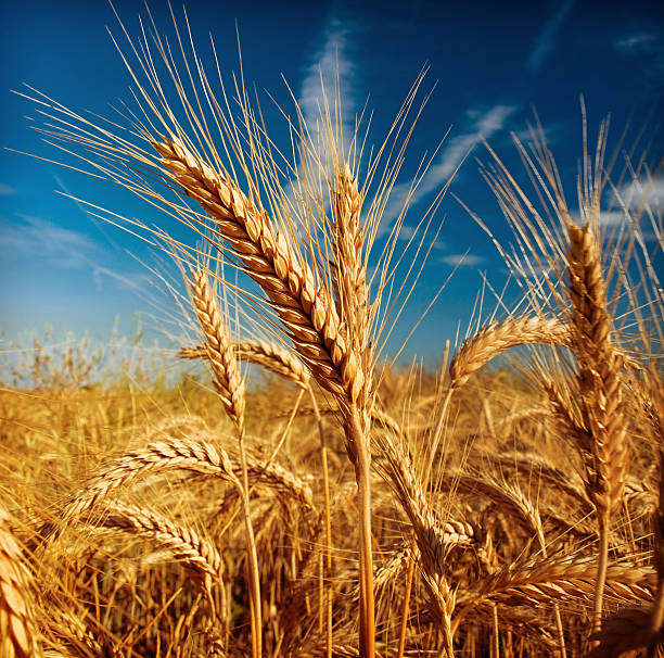 Wheat field wheat field close up oat crop stock pictures, royalty-free photos & images